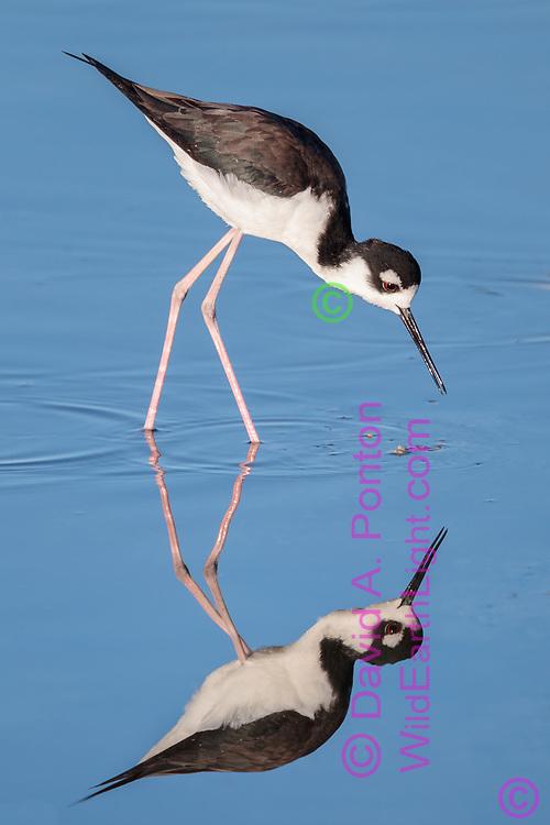 Black-necked stilt wading in shallows, with reflection, Salton Sea, CA© 2011 David A. Ponton