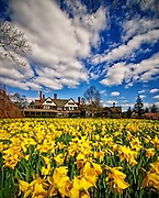 Daffodils in bloom grace the mansion at Bayard Cutting Arboretum in Oakdale, Long Island