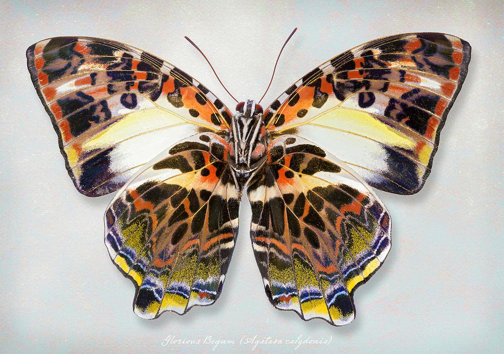 Glorious Begum, (Agatasa calydonia) underside / #LPD102b