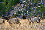 bugling, bull, elk, Yellowstone National Park