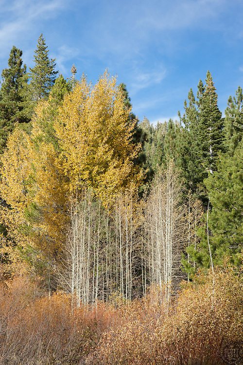 """Autumn in Blackwood Canyon"" - These yellow leaved and bare aspen trees were photographed in Tahoe's Blackwood Canyon in Autumn."