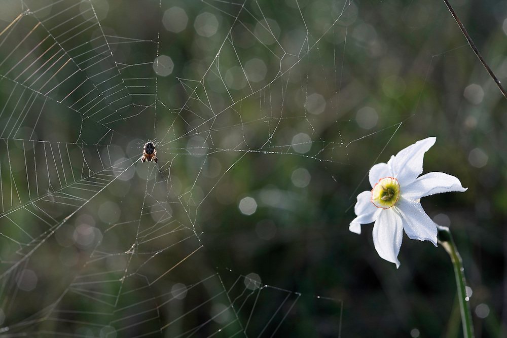 An orb-weaving spider (Larinioides sp.) and a Narcissus sp. (probably gorski narcis - Narcissus radiiflorus) Near Sturba river. Southern part of the Livansko Polje basin -  karst plateau: arguably the largest karst field in the world. Ramsar site. Bastasi area. May 2009. Bosnia-Herzegovina.<br /> Elio della Ferrera / Wild Wonders of Europe