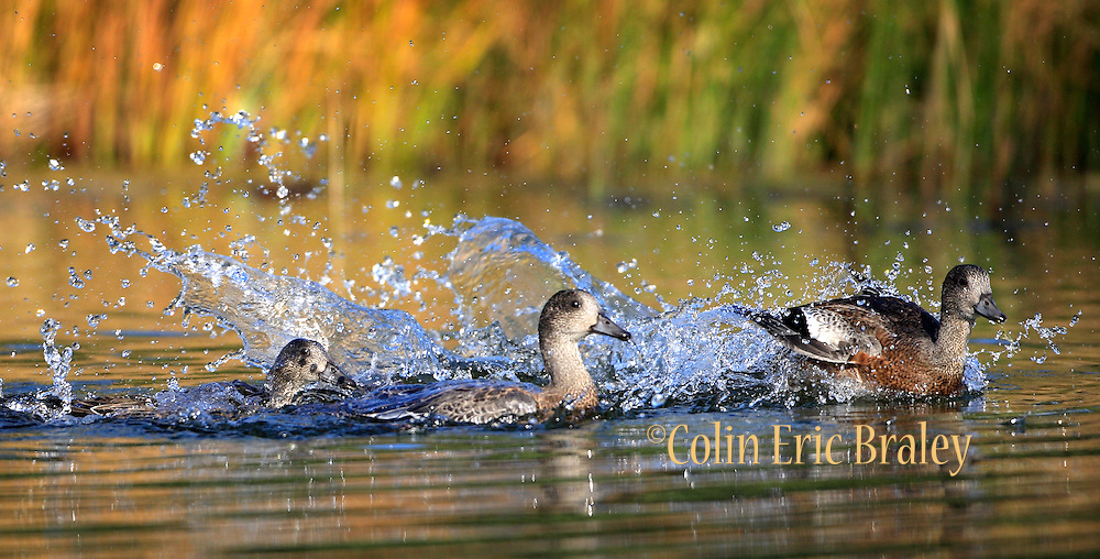 A duck makes a splash landing, swamping the others, in a stream during a sunny fall day in Grand Teton National Park in Wyoming. Colin Braley/Wild West Stock