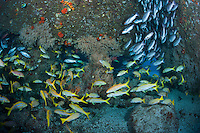 Schools of Snappers and Goatfish mix in swim through created by huge boulders<br /> <br /> <br /> Shot at Cocos Island, Costa Rica