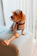 A Yorkshire Terrier standing on a piece of stuffed furniture over a large rawhide bone. WATERMARKS WILL NOT APPEAR ON PRINTS OR LICENSED IMAGES.