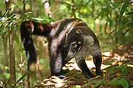 White-nosed Coati (Nasua narica).  Rainforest in Rincon de la Vieja National Park, Costa Rica. <br />