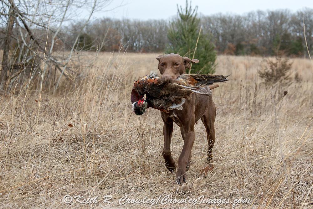 John Zeman hunts pheasants with his German Shorthair Pointer, Luna. John Zeman hunts pheasants with his GSP Luna