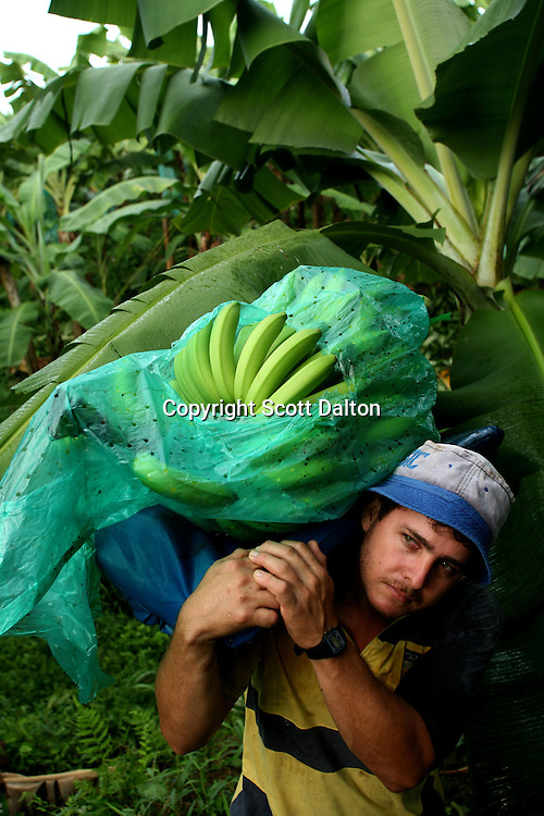 A worker carries a freshly cut stem of bananas at a Banacol plantation in Apartado on August 23, 2007. Colombia?s banana region was once a stronghold for illegal armed groups who apparently funded their wars by taxing the banana industry. American banana executives of the Cincinnati-based fruit giant Chiquita have acknowledged making monthly protection payments for six years to illegal groups that killed thousands of people. (Photo/Scott Dalton).