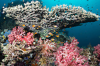Cardinalfishes congregate under Plate Coral <br /> <br /> Shot in Indonesia