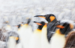 King Penguin (Aptenodytes patagonicus) walking back to colony on South Georgia Islands, Southern Ocean, Antarctic Convergence