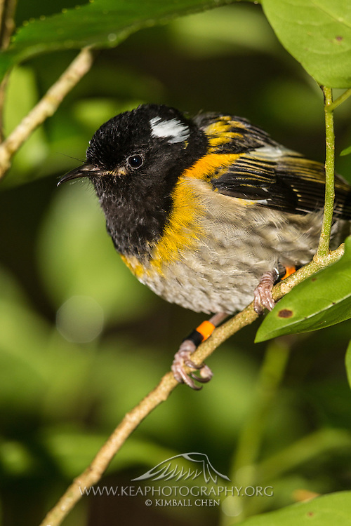 The male stitchbird has a velvety black head, upper breast and back, with white tufts behind the eyes, a bright yellow border across the breast and folded wings, with pale brown underparts.