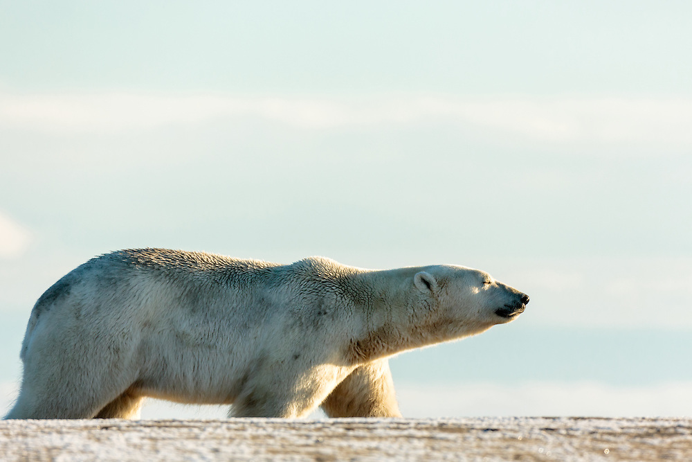 Polar bear (Ursus maritimus) walking on spit on Barter Island near Kaktovik in Arctic National Wildlife Refuge in the Far North of Alaska. Autumn. Morning.