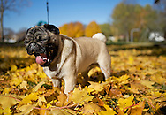 A pug puppy playing in the colorful leaves that have fallen from a tree in Wisconsin.