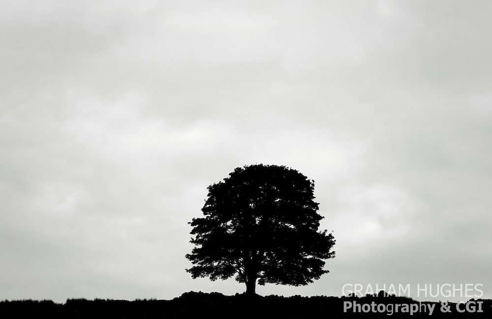 Silhouette of Tree and stone wall in field. Near Rogart, Scotland, UK.