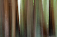 An abstract image of redwood trees in the Armstrong Redwoods State Natural Reserve, near Guerneville in northern California, Sonoma County.