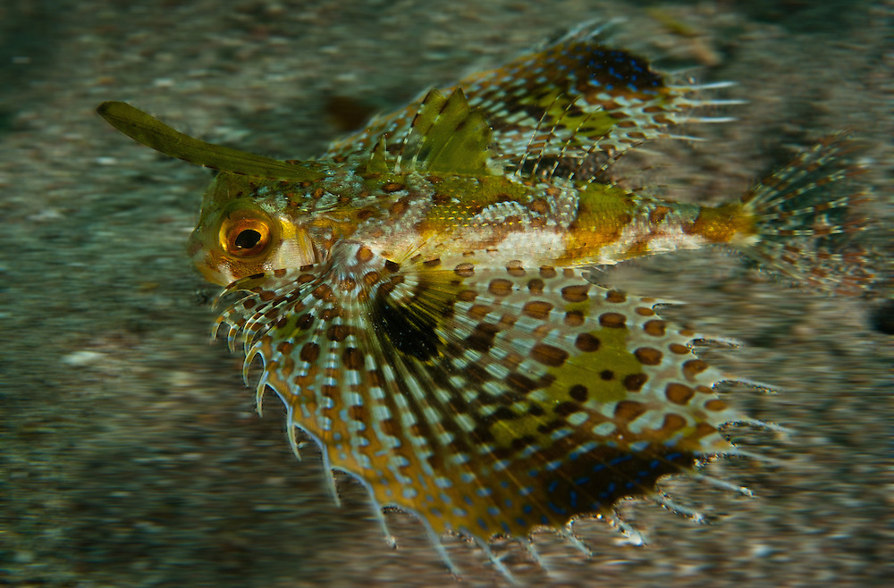 A Flying Gurnard hurries his way along the bottom. In the Philippines, muck divers head straight to Dauin to begin the hunt. It is considered one of the premier muck diving locations on the planet. On a bad day at Dauin, you can spot more rare animals than a decade out on the reef...