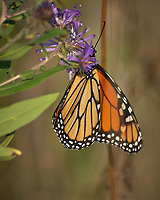 Monarch Butterfly Feeding on a Purple Wildflower. Image taken with a Nikon D2xs camera and 80-400 mm telephoto zoom lens (ISO 400, 400 mm, f/5.6, 1/2000 sec).