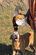 An old Labrador retriever looks at a rooster pheasant held in a hunter's hand.