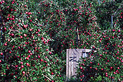 Red apple orchard ready to harvest.