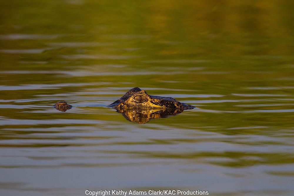 Caiman; Caimaninae; Jacare caiman; Mato Grosso; Pantanal; Rio Piquiri, Brazil;