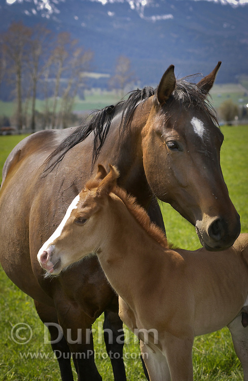 A new foal enjoying the first warm day of Spring wtih its mother in Wallowa County, near Joseph, Oregon.