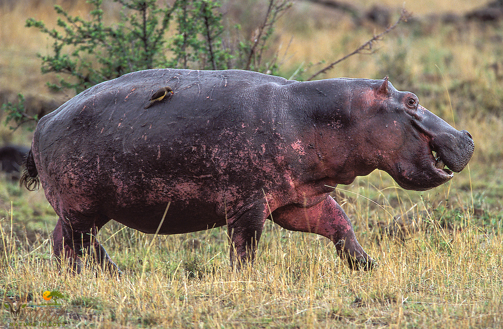 Hippo walking with oxpecker on back