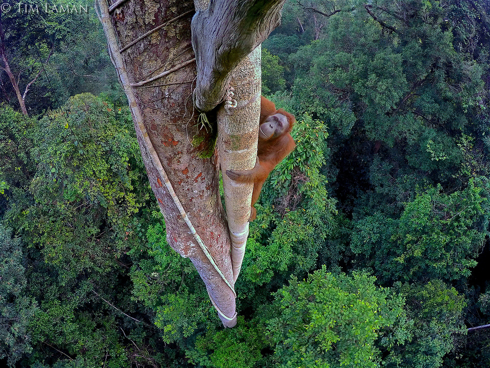 An endangered young male Bornean Orangutan climbs over 30 meters up a tree deep in the rain forest of Gunung Palung National Park, West Kalimantan, Indonesia (Island of Borneo).