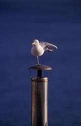UK ENGLAND CORNWALL LIZARD POINT MAR99 - A seagull balances on one leg.<br /> <br /> jre/Photo by Jiri Rezac<br /> <br /> © Jiri Rezac 1999<br /> <br /> Tel:   +44 (0) 7050 110 417<br /> Email: info@jirirezac.com<br /> Web:   www.jirirezac.com