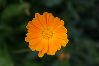 orange marigold flower close up