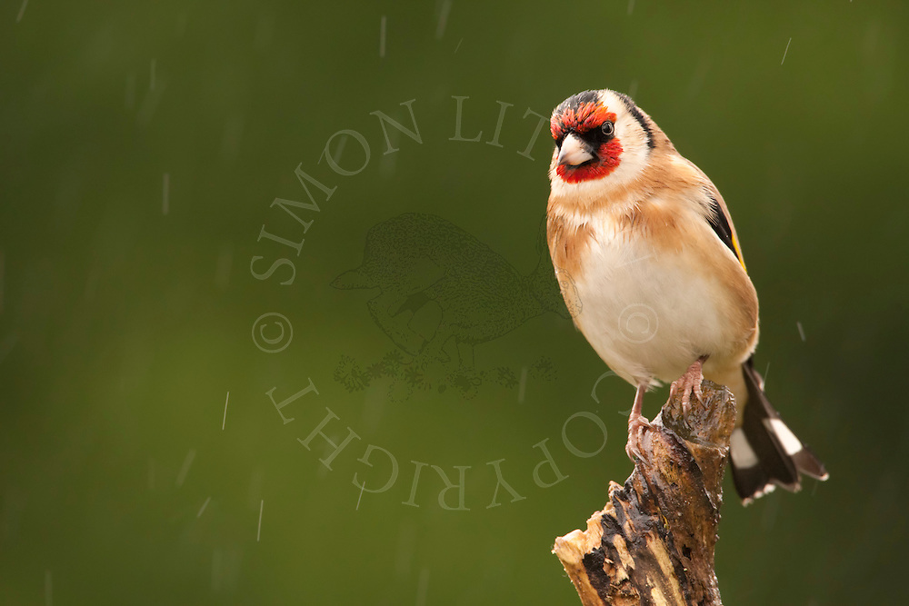European Goldfinch (Carduelis carduelis) adult, perched on stick in rain, winter, Norfolk, UK.