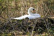 Female mute swan on nest, Donnington, Gloucestershire, United Kingdom