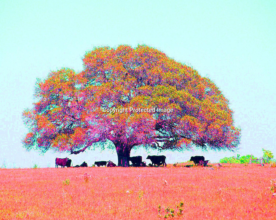 "Colorful photo of cows under a perfect spreading oak tree on a hot summer day in Texas.NOTE: Click ""Shopping Cart"" icon for available sizes and prices. If a ""Purchase this image"" screen opens, click arrow on it. Doing so does not constitute making a purchase. To purchase, additional steps are required."