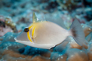 Sufflamen bursa (Scimitar Triggerfish)