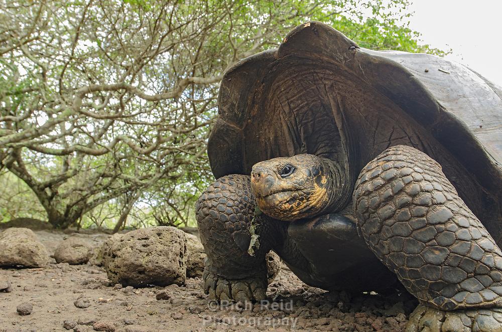 Endemic Galapagos Giant Tortoise, Geochelone nigrita at El Chato Tortoise Reserve on Santa Cruz Island on the Galapagos, Ecuador.