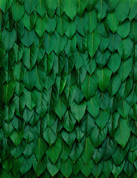 Lemon tree leaves