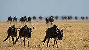 Wildebeests joining the great migration in Maasai Mara, Kenya.