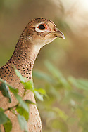 Common Pheasant (Phasianus colchicus) adult female emerging from hedgerow, Norfolk.