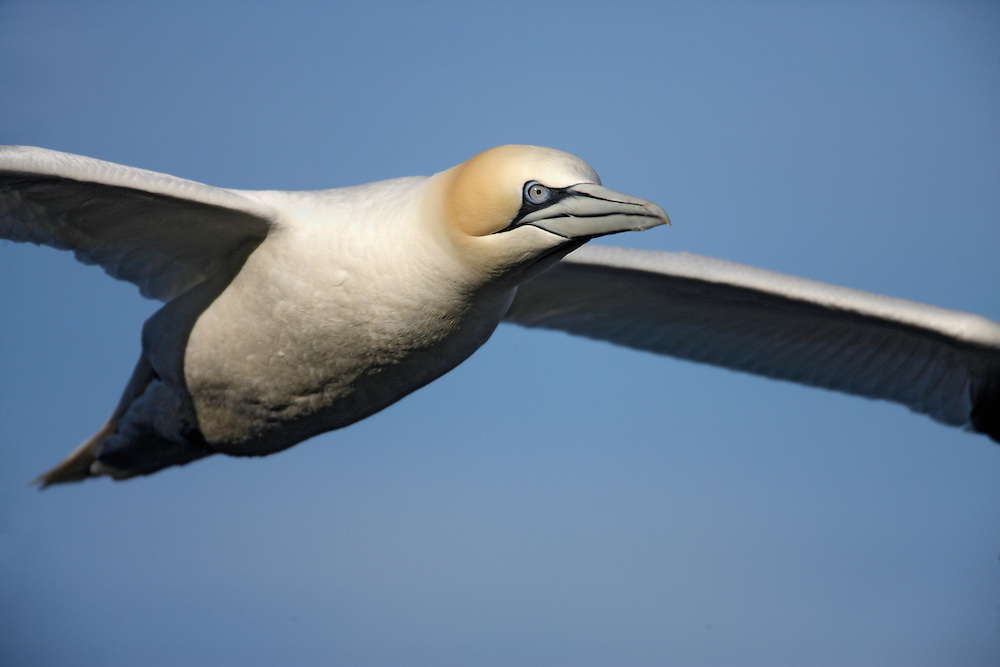Gannet (Sula bassana) in flight Saltee Islands Ireland