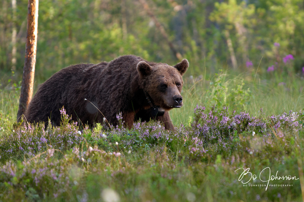 Wary male brown bear (Ursus arctos) in the wild forests near Edsbyn in Halsingland, Sweden. <br />
