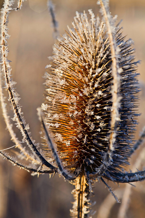 A frost-covered thistle along the Provo River in Winter.