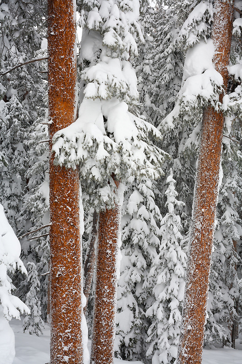 Heavy snow clings to the trees of the forest in Vail Colorado.