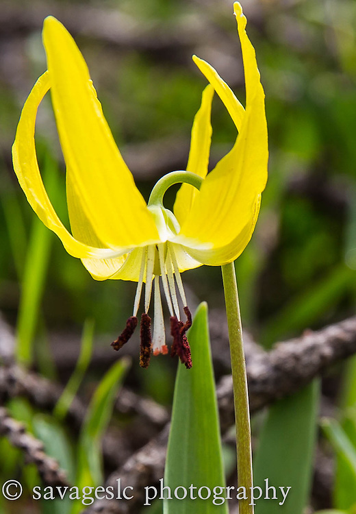 Glacier Lilly.  Yellowstone National Park <br /> May 2013