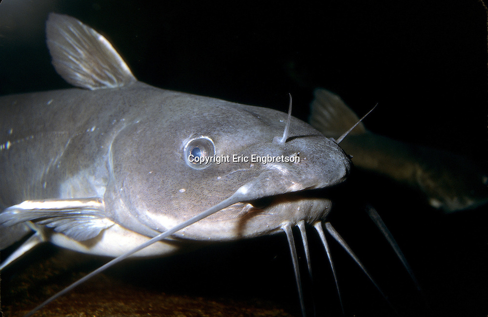 Channel Catfish<br /> <br /> ENGBRETSON UNDERWATER PHOTO