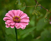 Pink Zinnia flower after the rain. Backyard summer nature in New Jersey. Image taken with a Leica T camera and 55-135 mm lens (ISO 100, 135 mm, f/5.6, 1/50 sec).