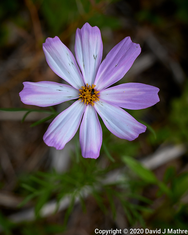 Cosmos. Image taken with a Leica CL camera and 60 mm f/2.8 lens.