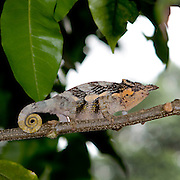 (Bradypodion tavetanum) A Two-horned Chameleon on a Branch