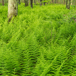 Ferns cover the forest floor at the Striar Conservancy, a Wildlands Trust preserve in Halifax, Massachusetts.
