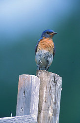 A male Eastern bluebird stands guard atop his nest box.  Apple orchard.  Sialia sialis.  Groton, MA