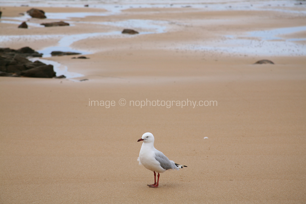 Seagull standing on a sandy beach at Burnie Tasmania Australia