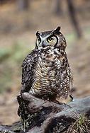 Great-horned owl perched on old burned ponderosa pine log, © 1983 David A. Ponton